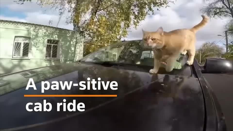Ukrainian driver offers taxi journeys with pet cat