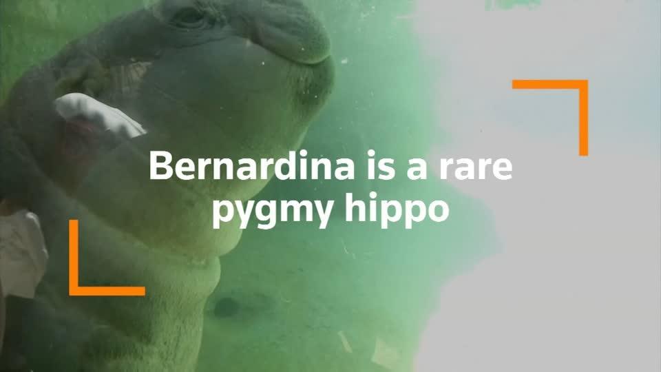 Meet Bernardina, the baby pygmy hippo delighting Chile