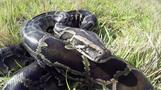 Florida's python hunters wrestle invasive snakes