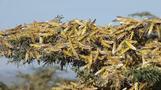 1日で数万人分の作物が… バッタが東アフリカを食い尽くす(字幕・27日)