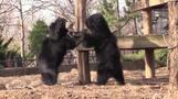 じゃれあう2頭のナマケグマを撮影、米フィラデルフィア動物園(19日)