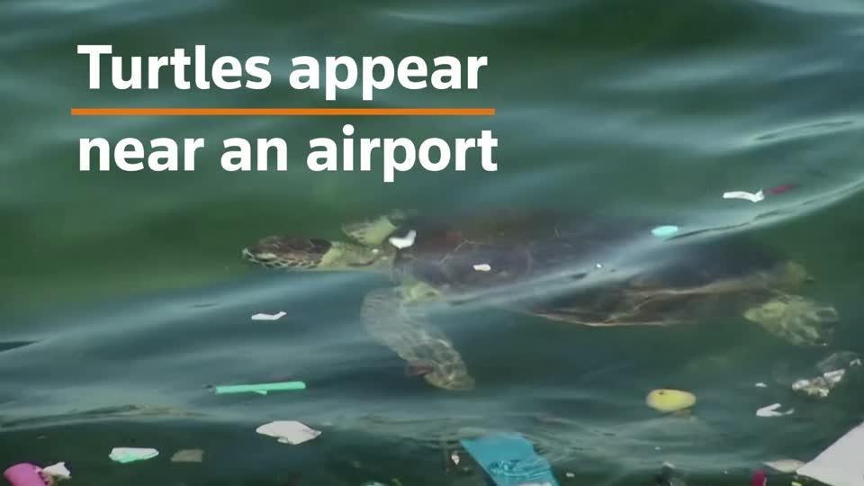 Turtles appear in bays amid Brazil's lockdown