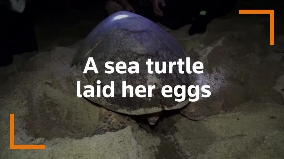 Critically endangered turtle lays eggs on Thai beach
