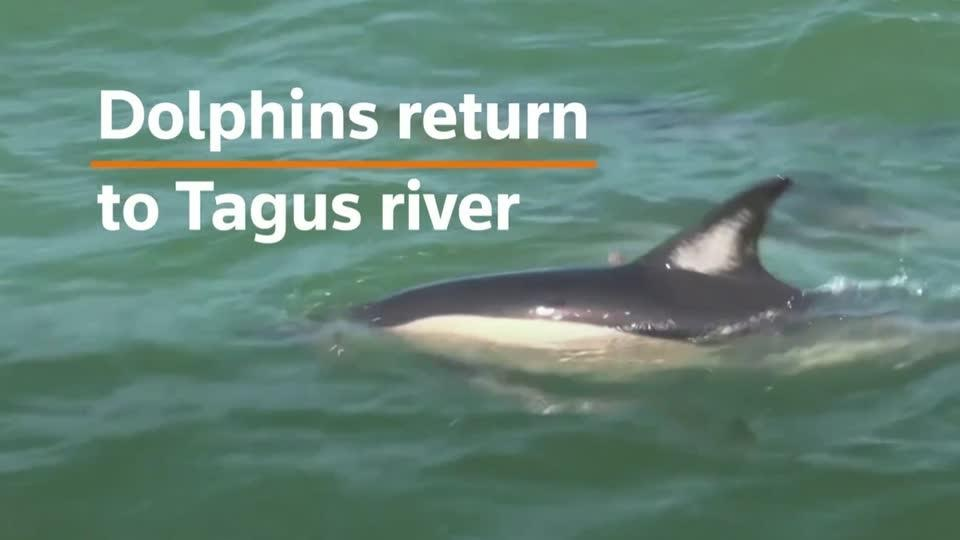 Dolphins return to Lisbon's Tagus river