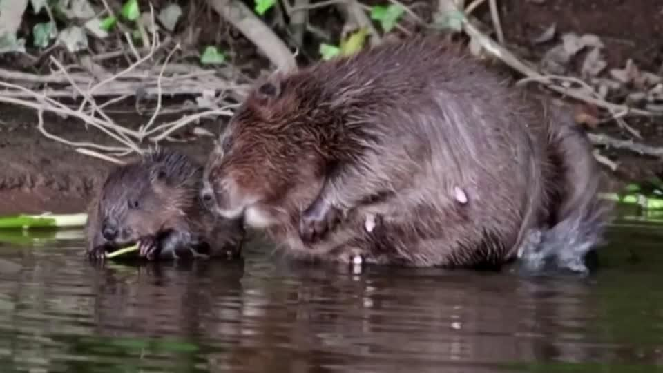 British beavers back in the wild after 400 years
