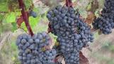U.S. vintners fear notes of ash after record wildfires