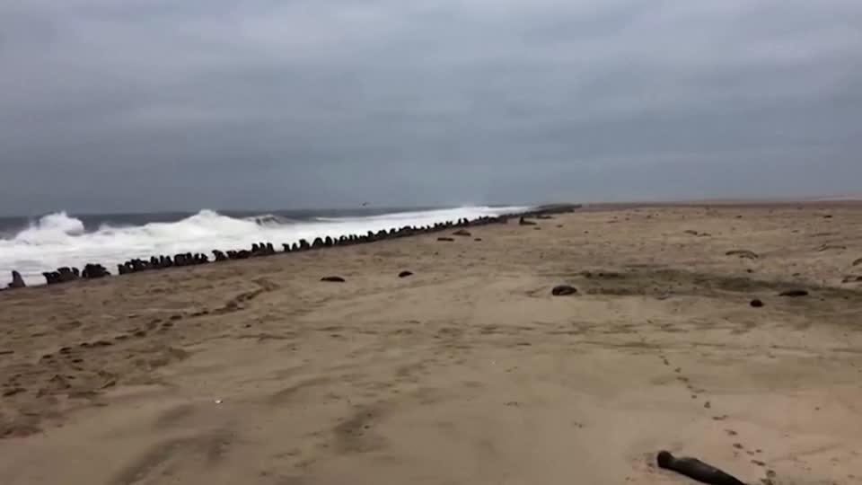 Thousands of dead seals found on Namibian beach