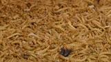 Energie aus Würmern - Unternehmen plant riesige Insektenzucht