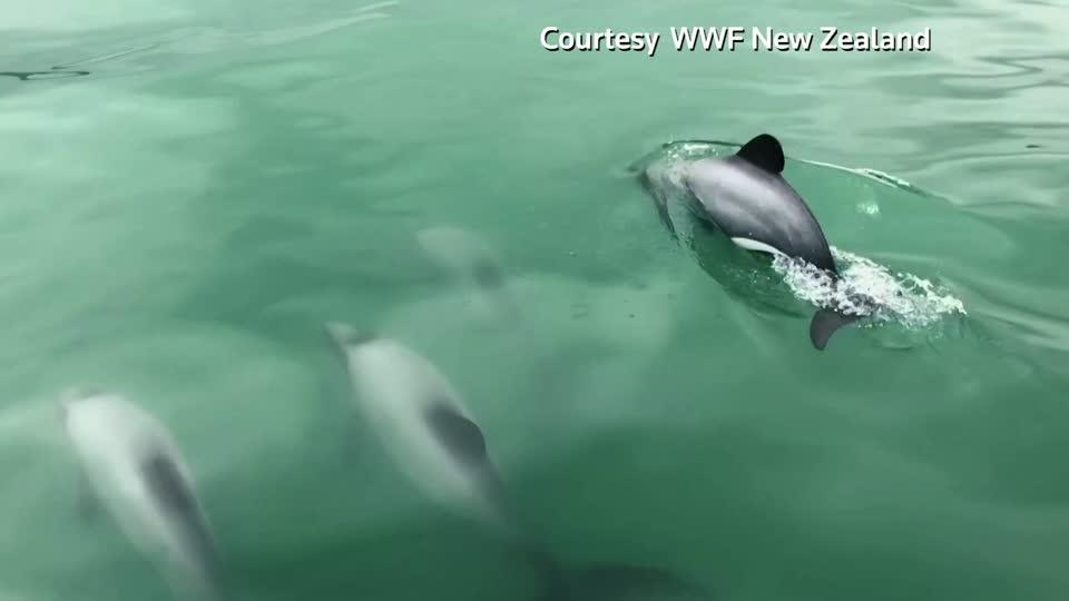 Drones fly to protect rare New Zealand dolphins