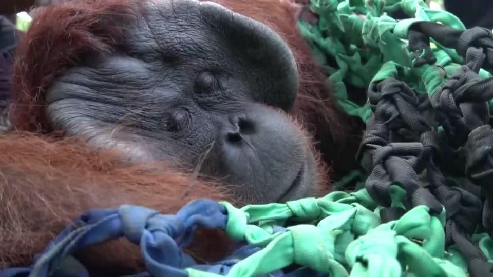 Orangutan released after being trapped in village