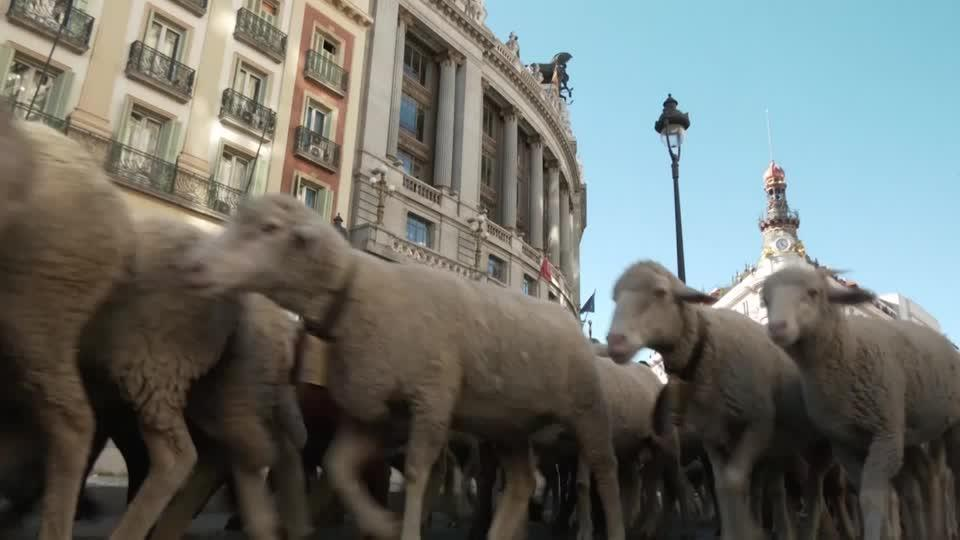 Watch as sheep take over the streets of Madrid