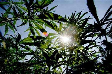 The sun shines though the distinctively shaped leaves of marijuana plants in Swaziland, May 24, 2005. Marijuana is not kosher for Passover, a pro-cannabis advocacy group says, advising Jews who observe the week-long holiday's special dietary laws to take a break from smoking the weed. REUTERS/Mike Hutchings