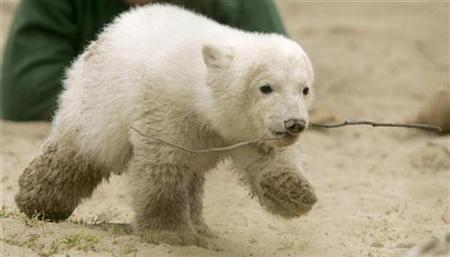 Polar bear cub Knut, holds a twig in his mouth as he walks through an enclosure in Berlin zoo April 9, 2007. The Haribo sweet factory in Bonn which has been churning out ''Cuddly Knut'' gummy bears since Easter has expanded production to a second factory to cope with surging demand for the chewy polar bear candies. REUTERS/Arnd Wiegmann