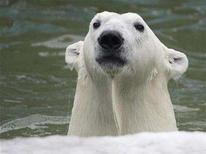 <p>Five-year-old polar bear Sedov plays at the Krasnoyarsk Zoo October 31, 2007. REUTERS/Ilya Naymushin</p>