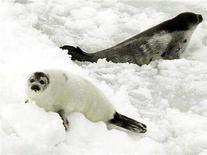 """<p>A """" ragged jacket"""" harp seal (L) which still has its baby white coat on rests on an ice pan with another harp seal off the coast of Cape Breton island, Canada, March 26, 2006. Canada's government, heavily criticized for allowing hunters to shoot and club to death hundreds of thousands of seals each year, says it is imposing new rules to ensure the animals are killed more humanely. REUTERS/Paul Darrow</p>"""