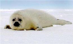 "<p>A harp seal pup with it's distinctive white coat moves across an ice floe in the Gulf of St. Lawrence, Canada, March 3, 2008. The European Union's environment chief will present a report on the ""inhumane killing"" of seals in Canada in the next few months, his spokeswoman said amid persistent calls for a ban on fur imports. REUTERS/Paul Darrow</p>"