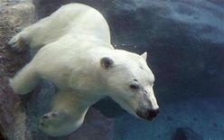 <p>A polar bear swims under water at St-Felicien Wildlife Zoo in St-Felicien, Quebec March 6, 2008. REUTERS/Mathieu Belanger</p>