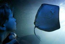 <p>A boy watches a stingray during a preview at the new Sea Life aquarium in Hanover February 21, 2007. REUTERS/Christian Charisius</p>