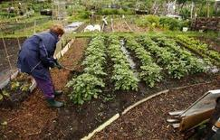 """<p>Англичанка обрабатывает свой огород на юге Лондона. Британцы, которые в годы Второй мировой войны откликнулись на призыв правительства """"копать для победы"""", чтобы своими силами обеспечить себя продовольствием, вновь возвращаются в сады и огороды. (REUTERS/Alessia Pierdomenico)</p>"""
