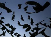 <p>Les pensionnaires d'une prison du Brésil ont dressé des pigeons-voyageurs pour les approvisionner en stupéfiants et téléphones portables. /Photo d'archives/REUTERS</p>