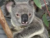 <p>Foto del koala llamado 'Ely 'Lucky' Grills' divulgada por el hospital Australian Wildlife, en Brisbane, 15 jul 2008. Un koala que esquivó a la muerte, tras ser atropellado por un coche a 100 kilómetros por hora y arrastrado con la cabeza atrapada en la parrilla del ventilador del vehículo durante unos 12 kilómetros, fue nombrado el marsupial más afortunado de Australia. El koala macho de ocho años, bautizado como 'Ely 'Lucky' Grills' por sus rescatadores, fue atropellado sin querer por un conductor al norte de Brisbane, que sólo lo descubrió cuando el coche se detuvo tras recibir señales de otro vehículo. Photo by Reuters (Handout)</p>