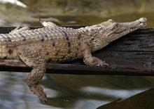 <p>Foto de archivo de un cocodrilo de agua dulce en el zoológico de Sídney, Australia, 13 ago 2008. REUTERS/Daniel Munoz</p>