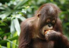 <p>Foto de archivo de Merlín, un orangután del zoológico de Singapur, comiendo una mandarina durante las celebraciones del año nuevo chino, 4 feb 2008. REUTERS/Sulastri Osman (SINGAPUR)</p>