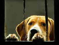 <p>A foxhound named Footloose looks through a window at the Beaufort Hunt Kennels in Badminton, Gloucestershire in southern England, October 31, 2003. REUTERS/Peter Macdiarmid</p>