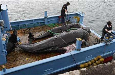 Captured short-finned pilot whales are seen on the deck of a whaling ship at Taiji Port in Japan's oldest whaling village of Taiji, 420 km (260 miles) southwest of Tokyo June 4, 2008. REUTERS/Issei Kato