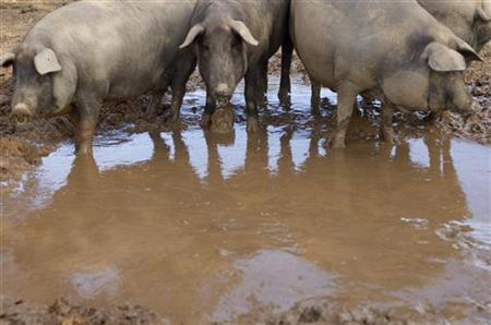 Blackfoot pigs approach a puddle at a farm in Amareleja in the southern Portuguese province of Alentejo April 23, 2008. REUTERS/Jose Manuel Ribeiro