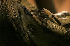 <p>Un fermier kényan capturé par un python qui l'a hissé en haut d'un arbre n'a pas hésité à mordre le reptile pour tenter de lui faire desserrer son étreinte. /Photo d'archives/REUTERS/Bogdan Cristel</p>