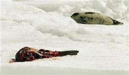 <p>A harp seal lies next to the carcass of a seal that was skinned by sealers on an ice floe in the Gulf of St. Lawrence near Iles-de-la-Madeleine, PQ, March 25, 2009. REUTERS/Paul Darrow</p>