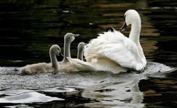 <p>A swan and its cygnets are seen during the annual Swan Upping ceremony, during which young cygnets are counted and assessed for signs of injury or disease, on the River Thames near Shepperton in Surrey July 16, 2007. REUTERS/Alessia Pierdomenico</p>