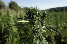 <p>Marijuana plants grow near a road in the Rif region, near Chefchaouen August 11, 2008. REUTERS/Rafael Marchante</p>