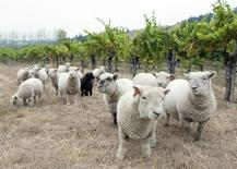 <p>A flock of Babydoll sheep graze at the Navarro Vineyards and Winery in Mendicino, California, in an undated photo. REUTERS/Terry McCarthy/Navarro Vineyards/Handout</p>