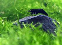 <p>Полностью черная креветка Кинг-Конг на выставке в Тайбэе 6 ноября 2009 года. Редкая черно-белая креветка была продана коллекционеру из Японии за $830. Любителя ракообразных не остановила малая продолжительность жизни и проблемы с размножением питомца. REUTERS/Nicky Loh</p>