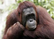 <p>Foto de archivo de un orangután en el zoológico de Singapur, jun 4 2009. Una peluda fotógrafa de 33 años está ganando adeptos en su página en la red social Facebook con las imágenes que toma de su vida cotidiana como orangután en un zoológico de Viena. REUTERS/Staff</p>