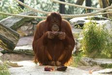 <p>33-year-old Orangutan Nonja looks at a camera in her enclosure in the Vienna Tiergarten zoo in Vienna, November 20, 2009. REUTERS/Thomas Licht/Handout</p>