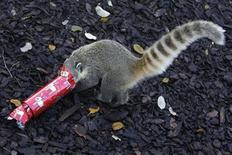 <p>A ring-tailed coati hunts for a treat hidden inside a Christmas cracker in its enclosure at the London Zoo, in London December 17, 2009. REUTERS/Stefan Wermuth</p>