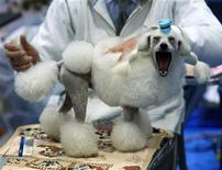 <p>A man grooms a Toy Poodle dog during the 2010 FCI Chiba International Dog Show in Chiba, near Tokyo January 24, 2010. REUTERS/Kim Kyung-Hoon</p>