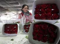 <p>Una empleada trabaja en el empaque de rosas antes del día de San Valentín en Sopo, Colombia, feb 5 2010. Con una temporada difícil a cuestas, los floricultores de Colombia ahora rezan a San Valentín para pedirle un milagro: que los consumidores se olviden de la crisis económica global y compren rosas para su pareja en el Día de los Enamorados. REUTERS/John Vizcaino</p>