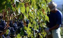 <p>A worker cuts a bunch of Sangiovese grapes during the harvest at the Biondi Santi vineyard in the Val d'Orcia close to the Tuscan town of Montalcino in central Italy, September 22, 2004. REUTERS/Max Rossi</p>