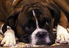 <p>Jenson, a Boxer dog rests in his stall on the first day of the Crufts dog show in Birmingham, central England, March 11, 2010. REUTERS/Phil Noble</p>