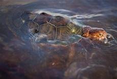 <p>Покрытая нефтью морская черепаха плывет у побережья Луизианны 8 июня 2010 года. Нефтяная компания BP Plc направит выручку от продажи нефти из поврежденной скважины в Мексиканском заливе на восстановление природы в четырех штатах, страдающих от загрязнения, сообщила компания. REUTERS/Lee Celano</p>