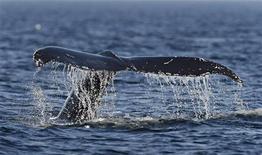 <p>Горбатый кит, сфотографированный в Канаде, 14 августа 2009 года. Самка горбатого кита преодолела расстояние более 6.000 миль (9.650 километров) от Бразилии до Мадагаскара, установив мировой рекорд миграции для млекопитающих, сообщили ученые. REUTERS/Mathieu Belanger</p>