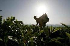 <p>Workers pick tea at a plantation outside Kericho February 6, 2008. REUTERS/Peter Andrews</p>