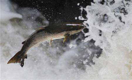 A salmon attempts to leap rapids on the river Braan in Perthshire, Scotland September 10, 2010. REUTERS/Russell Cheyne