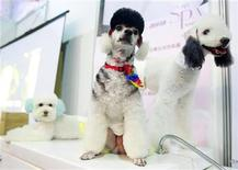 <p>Poodle dogs wait for their turn in a spa at the 2011 Taipei Pet Show inside the Nangang Exhibition Hall in Taipei July 15, 2011. REUTERS/Nicky Loh</p>
