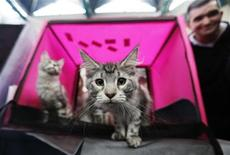 <p>A Maine Coon cat stares at a camera during an international cat exhibition held in Rishon Lezion, near Tel Aviv December 17, 2011. REUTERS/Amir Cohen</p>
