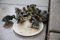 Wild ducklings eat out of a feeder on a high rise apartment roofdeck on the Upper East Side section of New York May 8, 2014. REUTERS/Shannon Stapleton